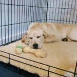 Labrador retriever crate training tips