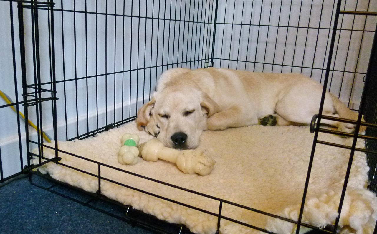 Labrador retriever crate training tips