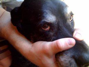 Labrador retriever dogs eye problems