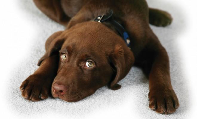 Labrador retriever eye care