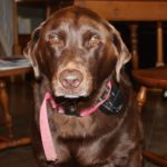 Labrador retriever eye health
