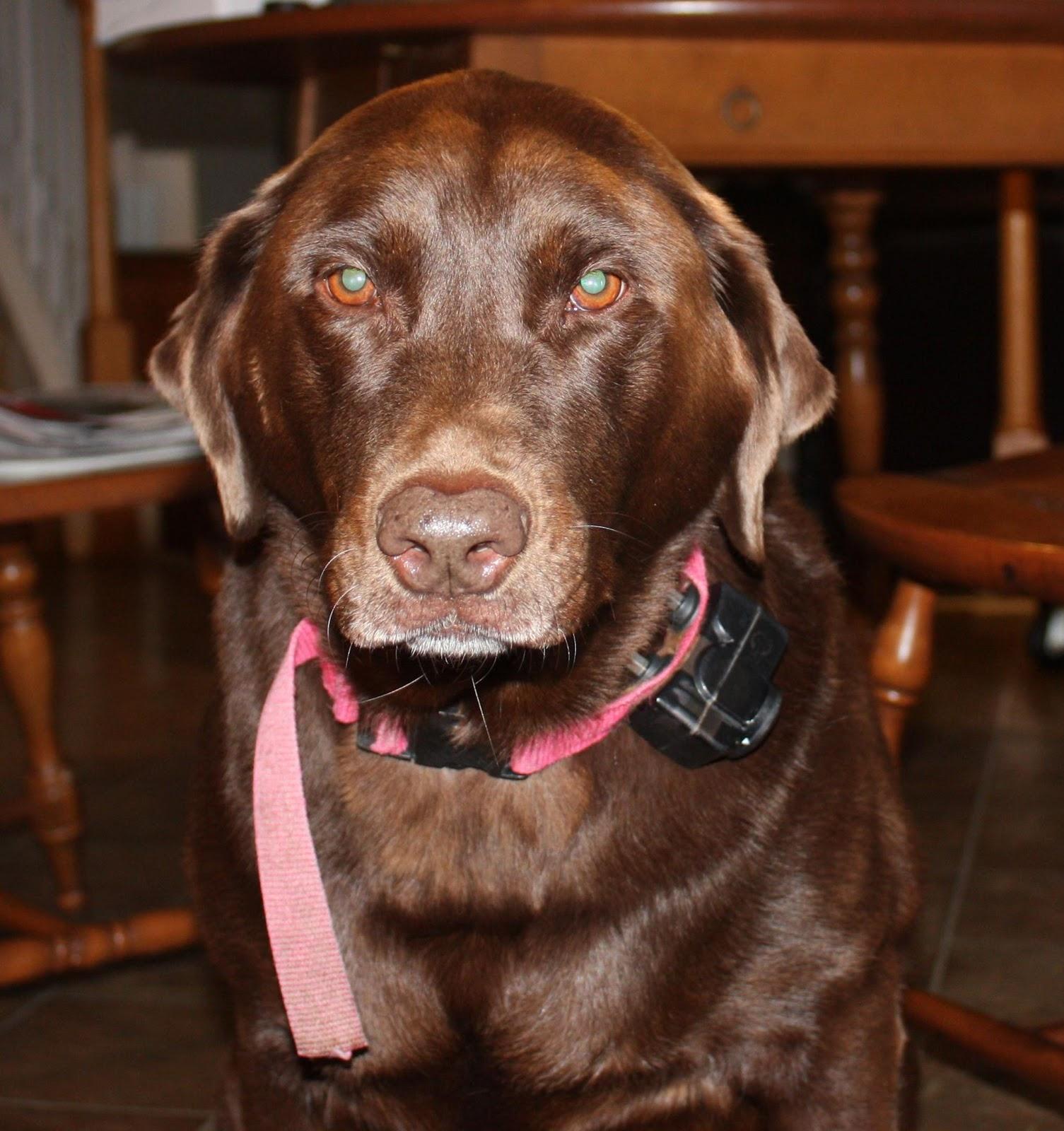 Labrador retriever eye health