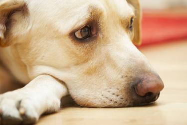 Labrador retriever eye problems