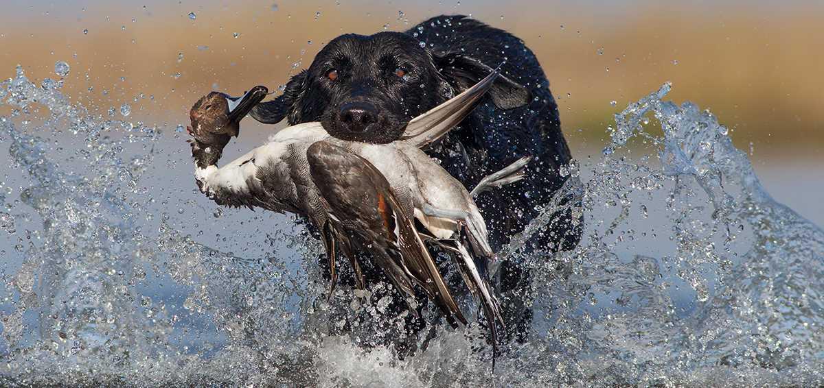 Labrador retriever hunting training tips