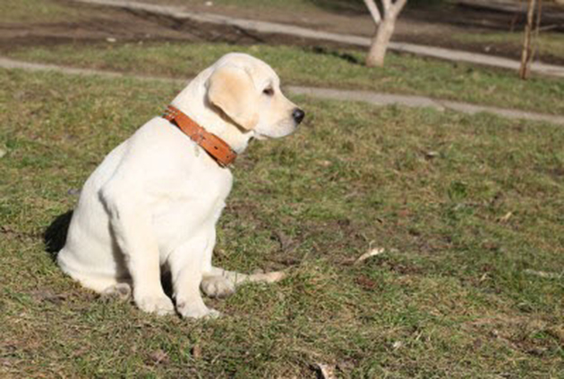 Labrador retriever obedience training tips
