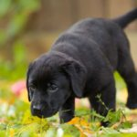 Labrador retriever puppy potty training