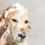 Labrador retriever shampoo