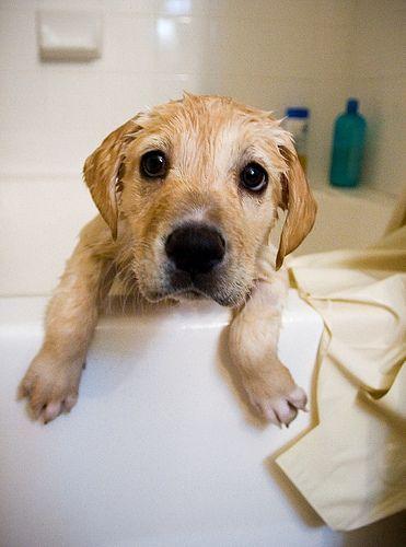 Labrador retriever skin care
