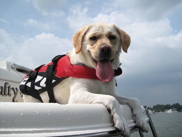 Labrador retriever swim vest