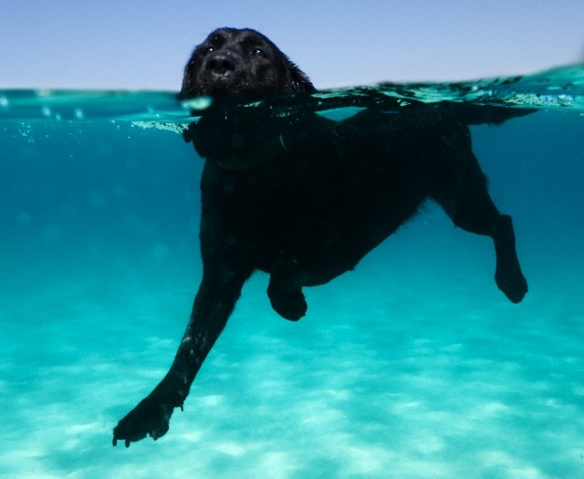 Labrador retriever swimmers tail