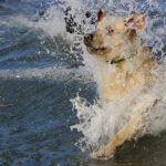 Labrador retriever swimming cold water