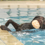 Labrador retriever swimming pool