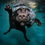 Labrador retriever swimming underwater