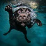 Labrador retriever swimming underwater