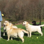 Labrador retriever tips training