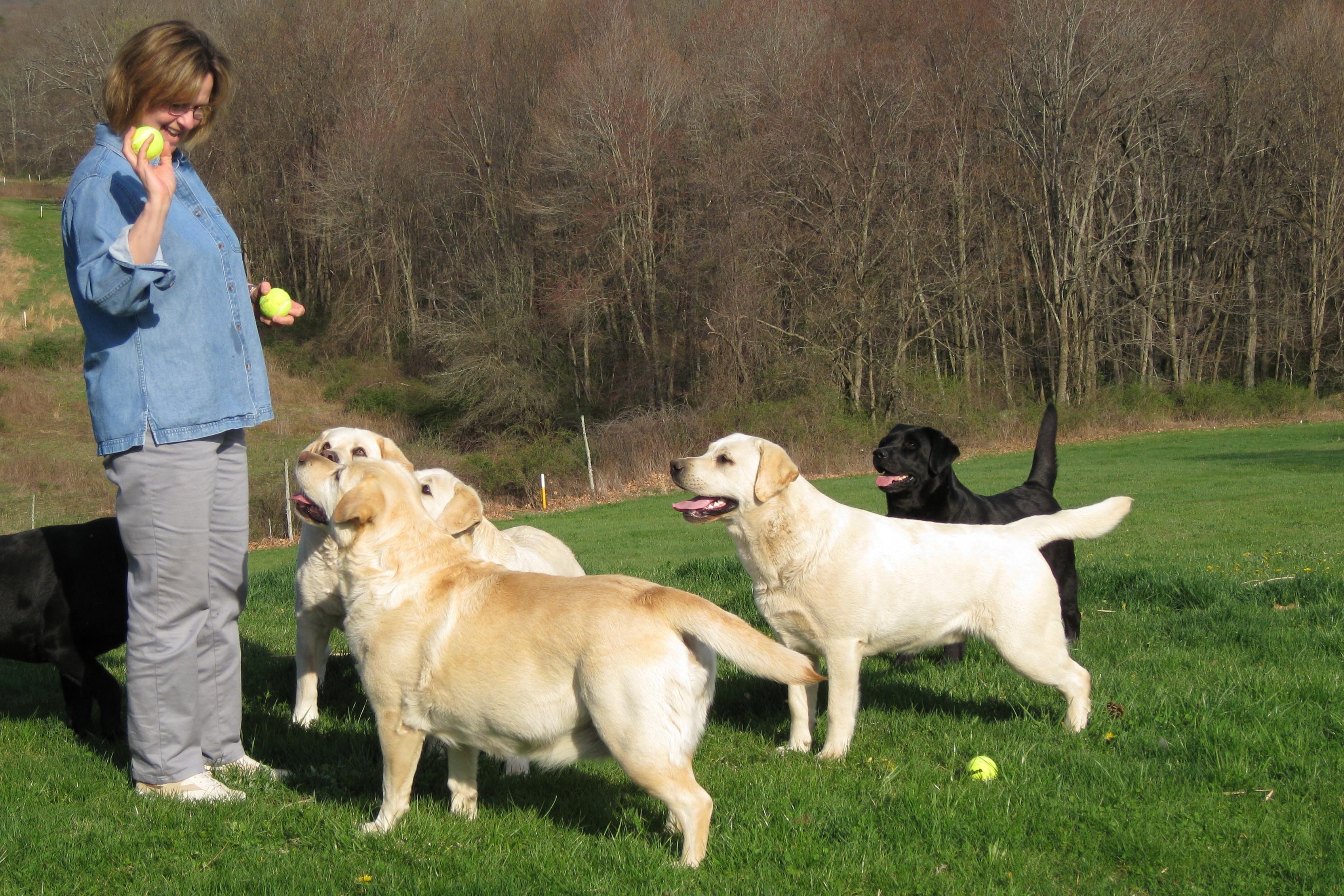 Labrador retriever tips training