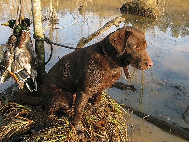 Labrador retriever training tips for hunting