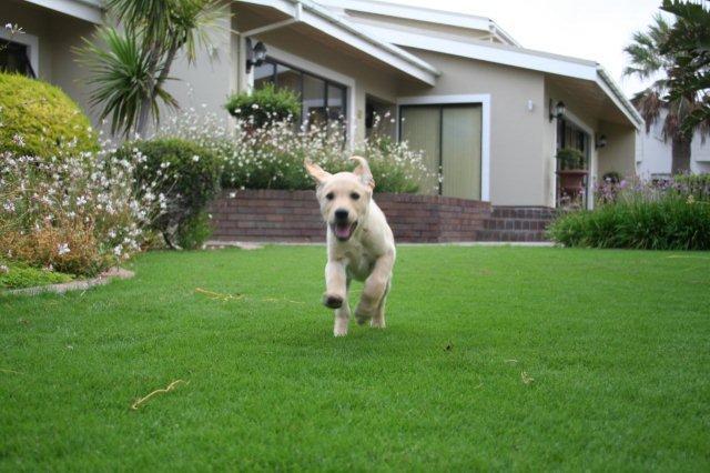 Potty training a labrador retriever puppy