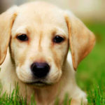 Tips on training a labrador retriever puppy