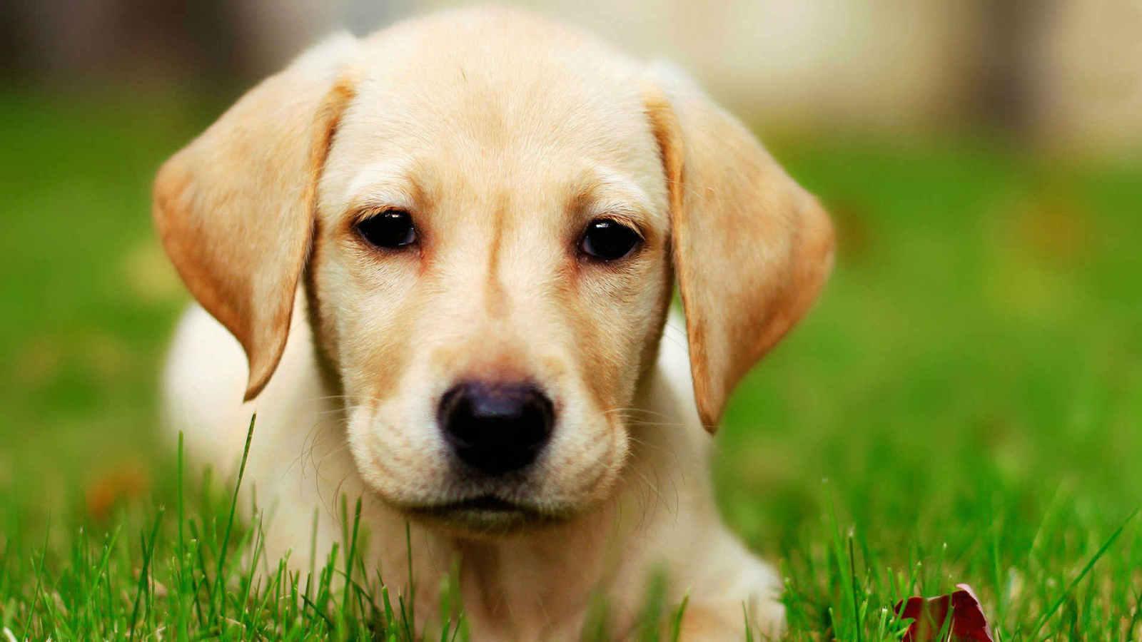 Tips on training a labrador retriever puppy