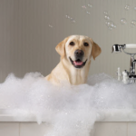 Washing a labrador retriever
