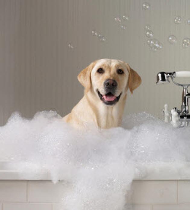 Washing a labrador retriever
