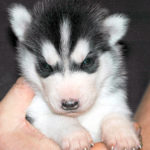 3 week old Husky
