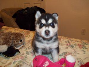3 week old Husky pup