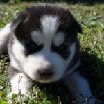 3 week old siberian Husky puppies for sale