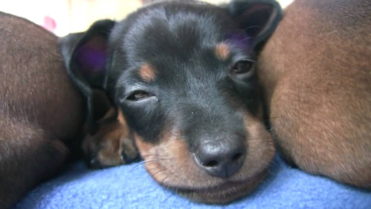 6 week old Dachshund puppy care