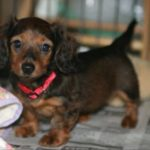 8 week old Dachshund puppy care