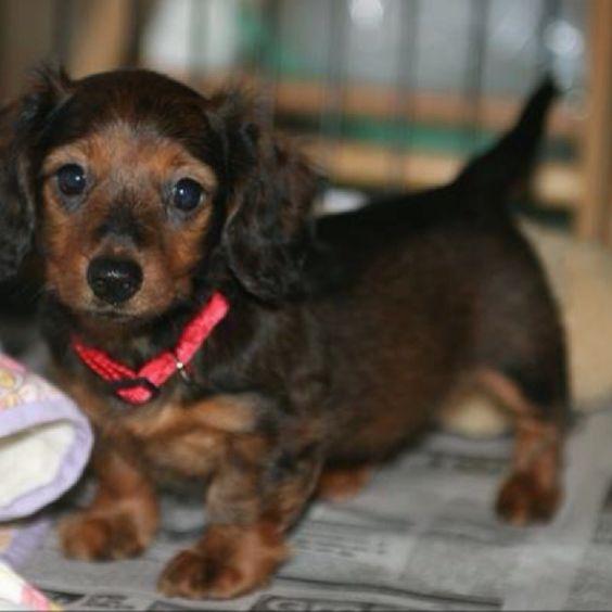 8 week old Dachshund puppy care