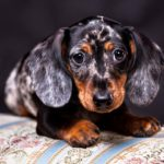 Akc miniature Dachshund weight