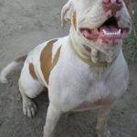 American bulldog pitbull terrier mix