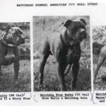American pitbull terrier bloodline history