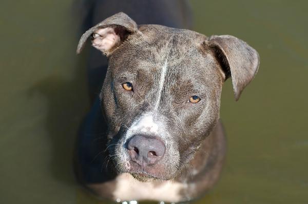 American pitbull terrier blue nose caracteristicas