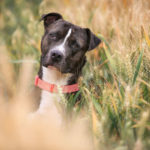 American pitbull terrier care information