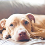 American pitbull terrier care sheet