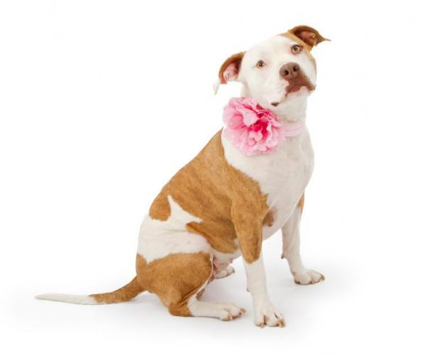 American pitbull terrier girl names