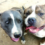 American pitbull terrier history of breed