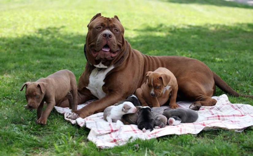 American pitbull terrier information