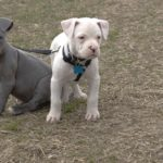 American pitbull terrier puppy care