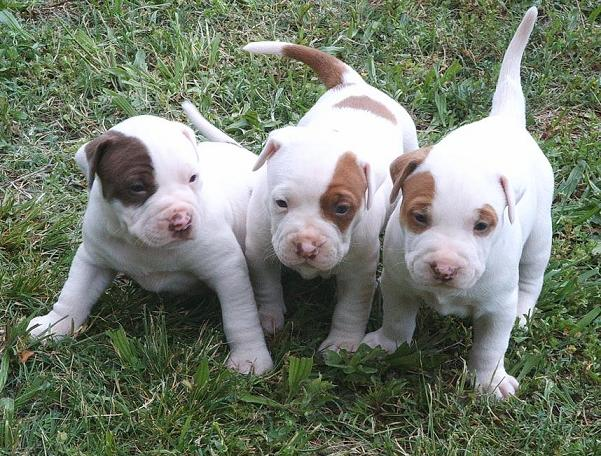 American pitbull terrier puppy names