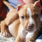 American pitbull terrier puppy weight chart