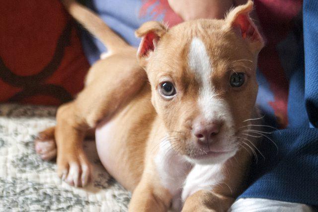 American pitbull terrier puppy weight chart