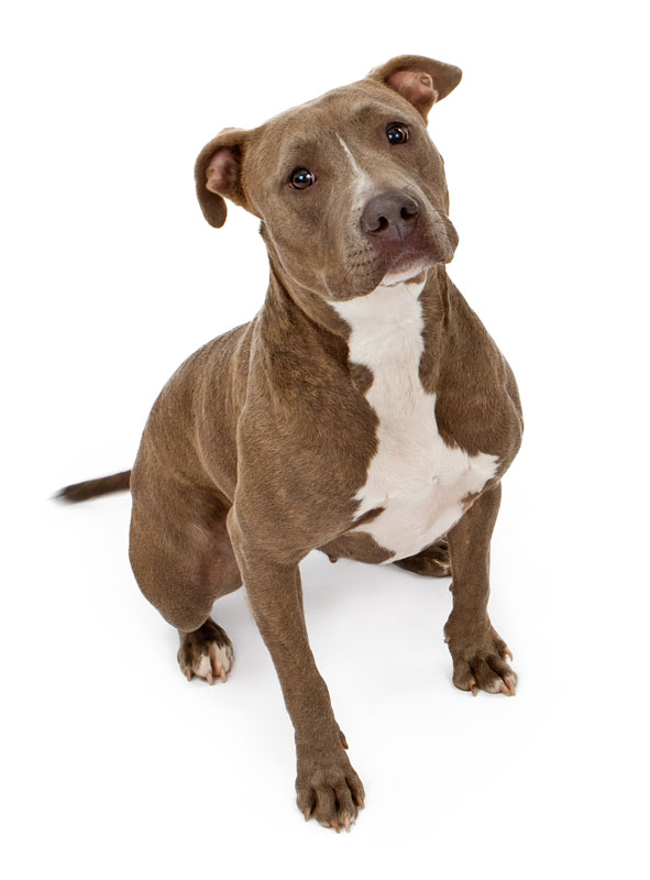 American pitbull terrier real name