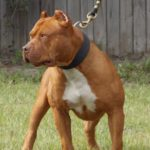 American pitbull terrier red nose caracteristicas