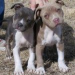 American pitbull terrier red nose vs blue nose