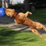 American pitbull terrier training