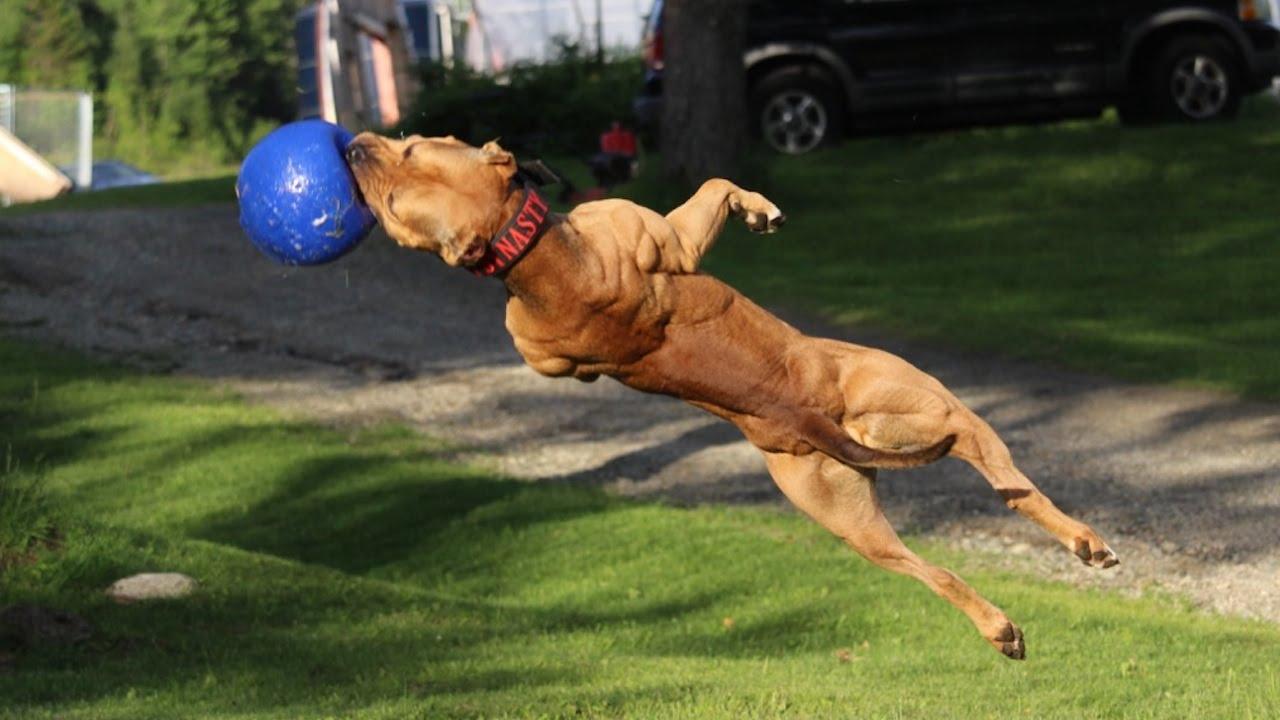 American pitbull terrier training
